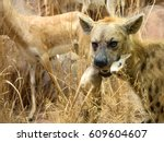 spotted hyena holding prey in... | Shutterstock . vector #609604607