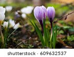 Crocuses Spring Blooming....