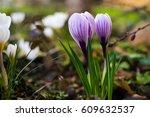 Crocuses Spring Blooming....