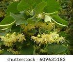 lime blossom  tilia