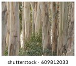 Eucalyptus Tree Trunks With...