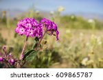Small photo of Close up of desert sand-verbena (Abronia villosa) blooming in Anza Borrego Desert State Park, San Diego county, California