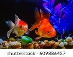 beautiful goldfish in the... | Shutterstock . vector #609886427