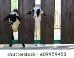 Young Sheeps Looking From The...