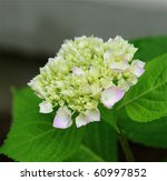A Beautiful Hydrangea In Full...