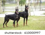 Two Adult Doberman