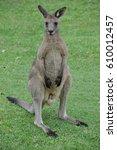 Small photo of Australia - Newcastle kangaroo