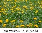 Dandelion Field.