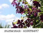 Clematis Flowers Are Dark...