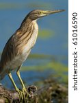 silky or squacco heron on a... | Shutterstock . vector #61016590