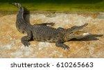 crocodile saltwater thailand zoo | Shutterstock . vector #610265663