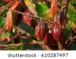 group of red cocoa pods hanging ... | Shutterstock . vector #610287497