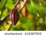 one pretty clean red cocoa pod... | Shutterstock . vector #610287503