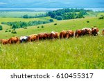 cow herd grazing on a beautiful ...