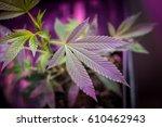 Indoor Marijuana Gorilla Grow