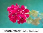 Geranium Peltatum  Ivy Leaf...