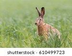 Stock photo european brown hare lepus europaeus 610499723