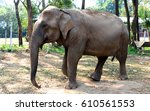 Asian Elephant In The Chiang...