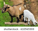 Small photo of The goat is a member of the family Bovidae and is closely related to the sheep as both are in the goat-antelope subfamily Caprinae.