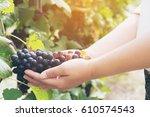 Vineyard Woman Worker Checking...