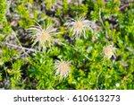 "Small photo of fruit of ""Chinguruma"" Aleutian avens / chinguruma is clumped in Daisetsuzan , hokkaido ,japan"