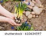 gardener hands planting flowers ...   Shutterstock . vector #610634597