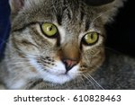 Cute Brown Tabby Cat