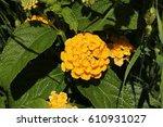 "yellow hybrid ""tickberry""... | Shutterstock . vector #610931027"