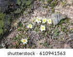 Small photo of Nature in Rocky Mountain National Park in Colorado, USA. Wildflowers of mountain avens (Dryas octopetala) species, also known as white dryas or white dryad.