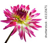 single pink with white  yellow... | Shutterstock . vector #61115671