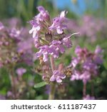 wildflowers close up. thyme | Shutterstock . vector #611187437