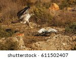 The Bonelli's Eagle  Aquila...