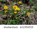Tussilago First Spring Flower....