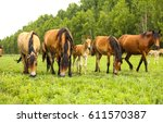 Horse Herd In Field  Mare And...