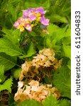 Small photo of Hydrangea blossoms - this year and last year.