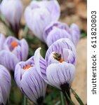 Bee In Crocus Flower. Crocuses...