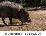 american pigs peccaries in the... | Shutterstock . vector #611862707