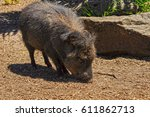 american pigs peccaries in the... | Shutterstock . vector #611862713