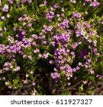 Pink Diosma Coleonema  A Genus...