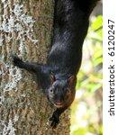A Black Squirrel Coming Down A...