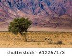 Lonely Oryx Antelope Grazing I...