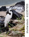 Small photo of White-morph Great Blue Heron on the beach in Dauphin Island, Alabama