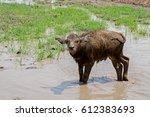 buffalo   Shutterstock . vector #612383693