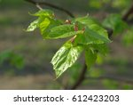 Green Young Lime Leaves With A...