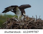 A Mother Osprey And Her Chick...