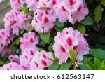 Honey Bee On A Rhododendron...
