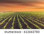rows of young soybeans against...   Shutterstock . vector #612662783