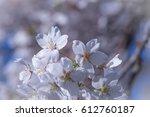Cheery Blossom Or Sakura...