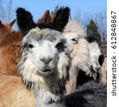 Small photo of Multi Colored Alpaca - Photograph of an alpaca with multiple colors looking straight ahead and a white alpaca in the background. Selective focus on the alpaca in the foreground.