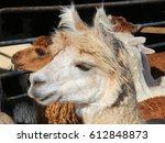 Blond Alpaca   Photograph Of A...
